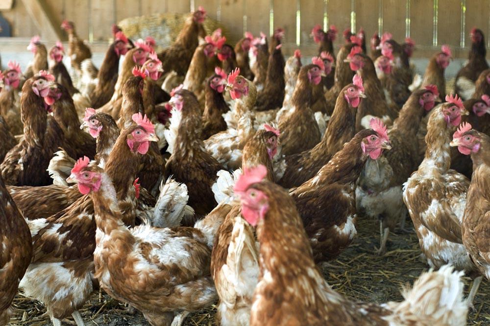 Welt Der Tiere Stempel « Eier Von Glücklichen Hühnern 08 » Hühner Henne Legehenne Hühnerhof Ei Kreatives Gestalten