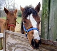 zwei Pferdeköpfe am Zaun